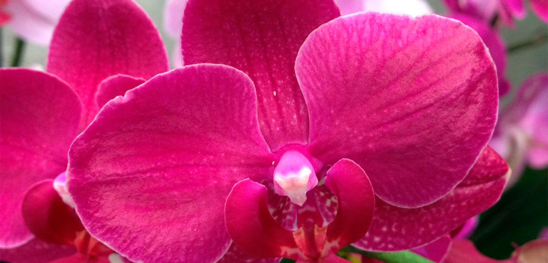 Phalaenopsis de distintos colores que vendemos en nuestro Garden. Todos tiene dos tallos florales y su precio es a partir de los 25 euros.