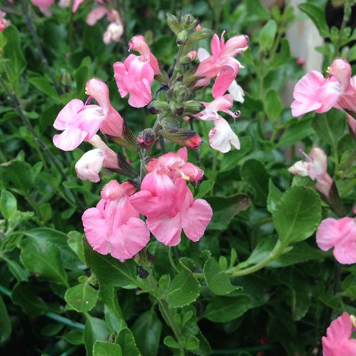 Salvia Greigii