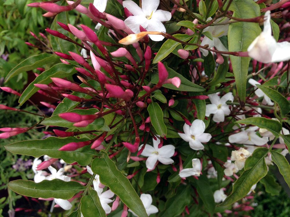 jazmines polyantha