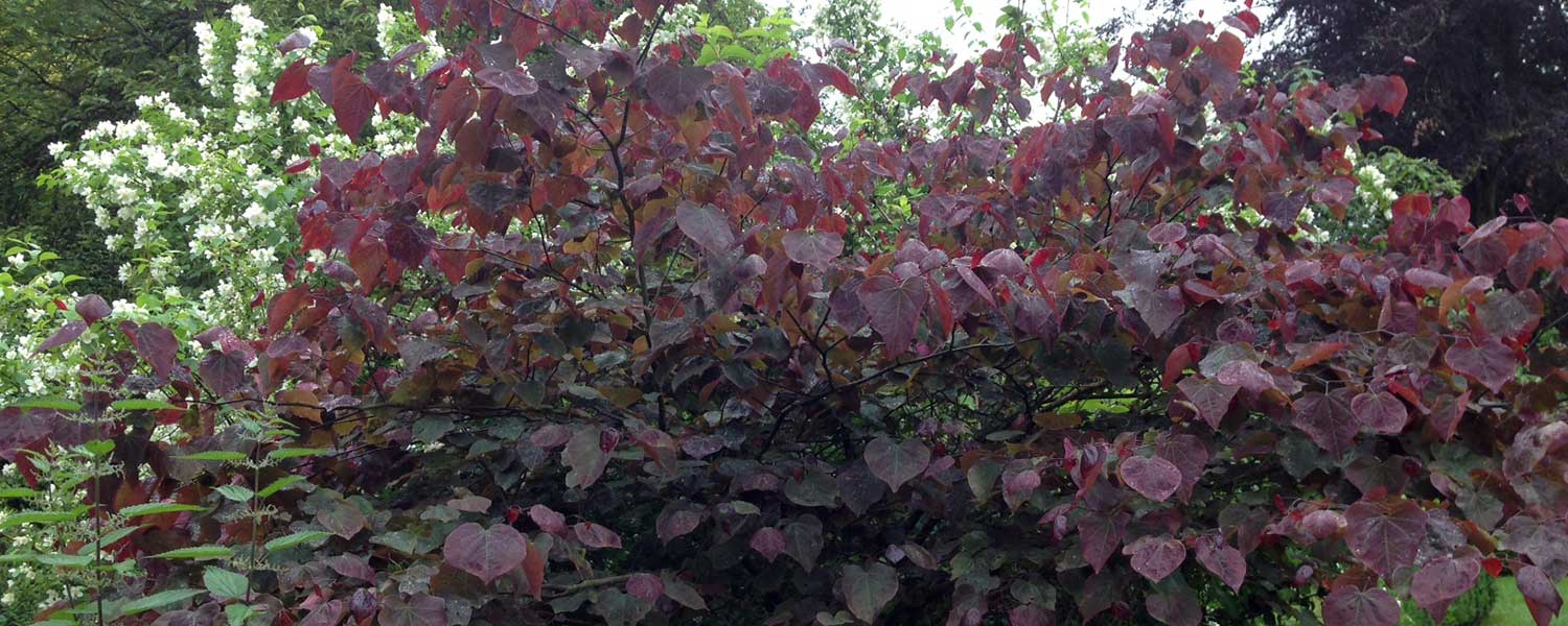 cercis forest pancy