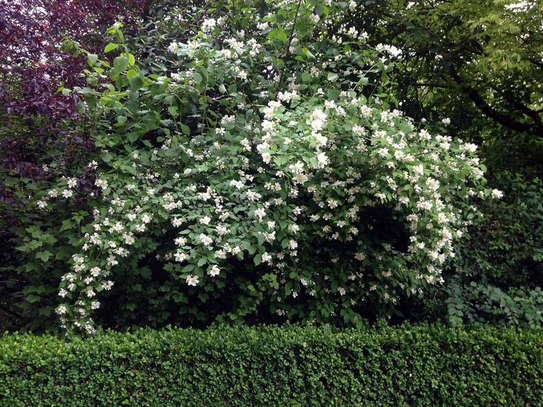 Arbustos en nuestro jard n bourguignonshop for Arbustos en jardines