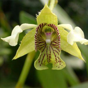 Orquídea Dendrobium Macrophyllum