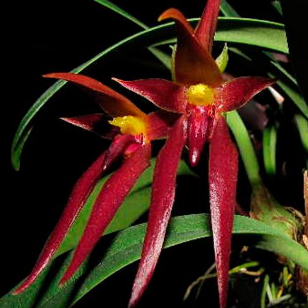 Orquídea Bulbophyllum Nymphopolitanum