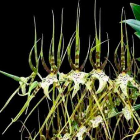 orquidea brassia nanboh breeze