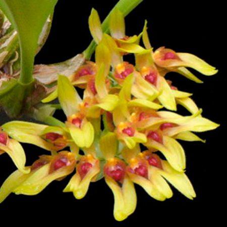 orquidea bulbofyllum graveolens