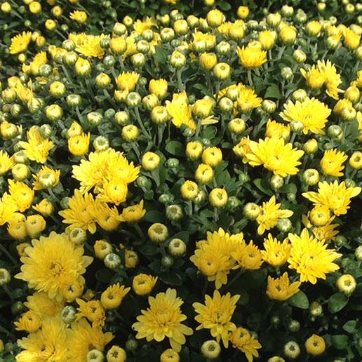 Bolas de crisantemos