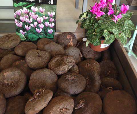 Bulbos Colchicum gigante y Cyclamen