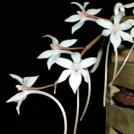 orquidea-aerangis-mystacidii