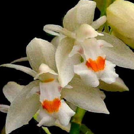 orquidea-chelonistele-sulphurea