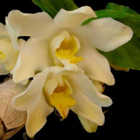 Orquídea Chysis Bractescens