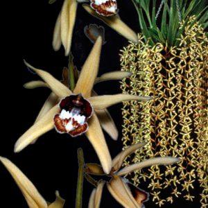 Orquídea Coelogyne Pulverula