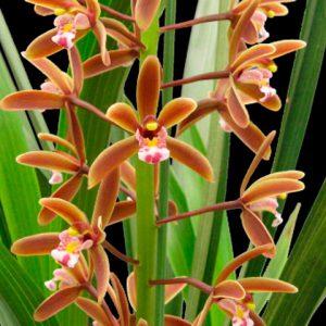 Orquídea Cymbidium Floribundum