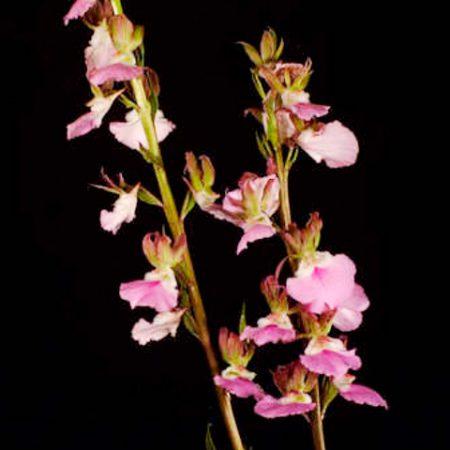 Orquídea Eulophia John Davdison