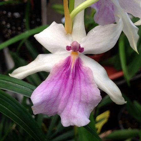 orquidea miltonia spectabilis
