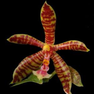 orquidea-phal-hymen