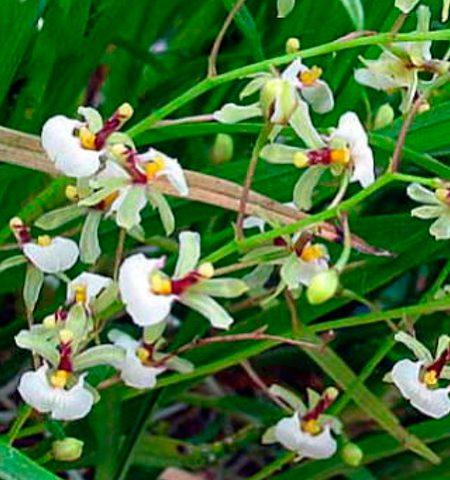 Orqu dea sigmatostalix radicans garden center bourguignon - Tiestos para orquideas ...