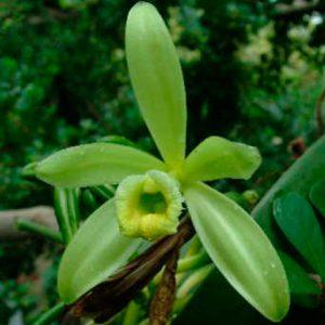 Orquídea Vainilla Plenifloia
