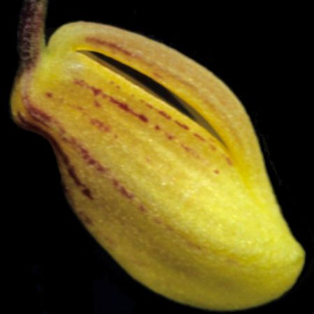 orquidea zootrophion hirtzii