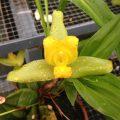 orquideas lycastes
