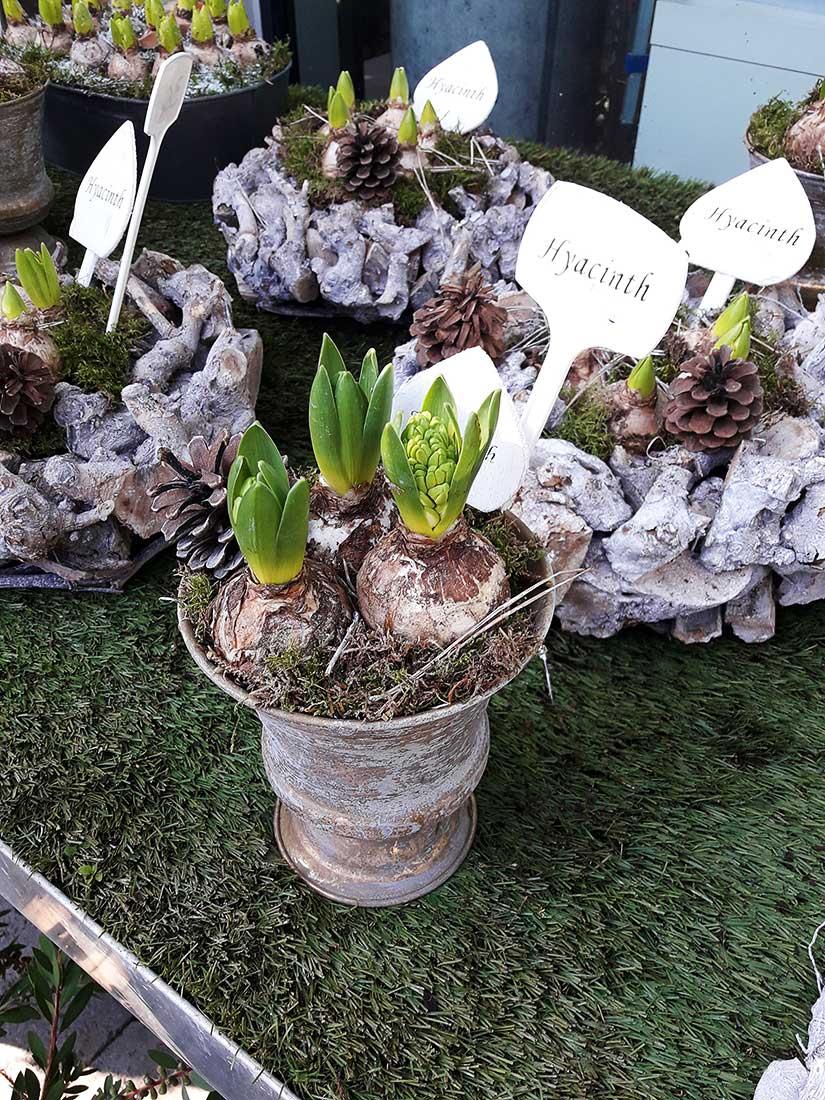 jacintos floración navideña
