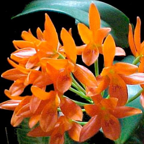 orquidea-cattleya-aurantiaca