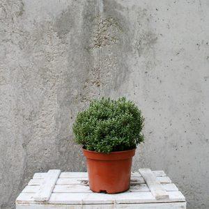 Hebe topiaria