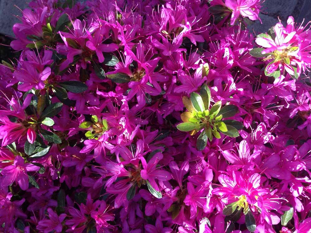 Azaleas y Rododendros