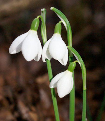 Galanthus nivalis o campanilla de invierno