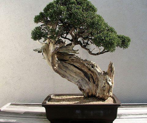 Beneficios de cultivar un bonsái
