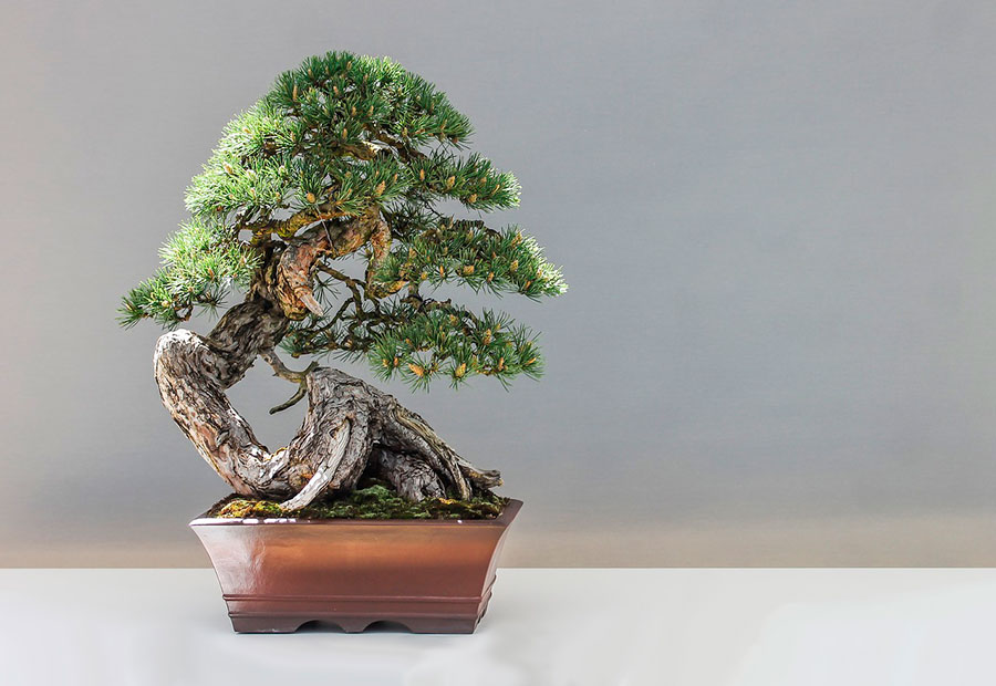 beneficios de cultivar un bonsai