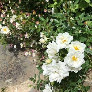 Rosal miniatura Bianco