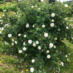 rosa-pinpinelifolia-double-white