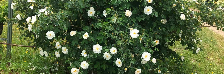 rosa-pinpinelifolia-double-white