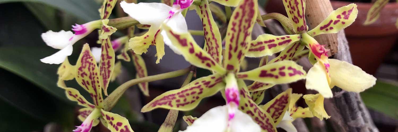 orquidea epidrendum