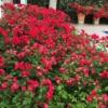 rosal la sevillana