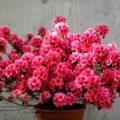 Azaleas - Garden Center Bourguignon