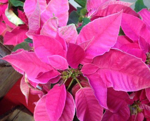 flor de pascua poinsettia