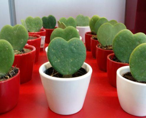 Hoya Kerrii para San Valentin