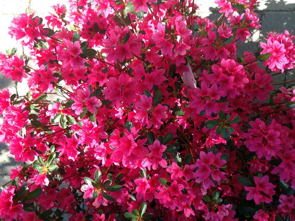 Azaleas Japonicas