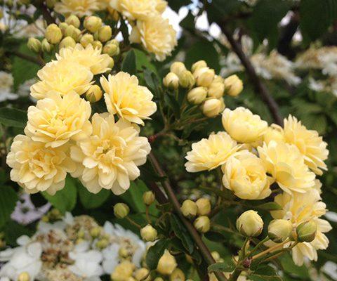 Rosal Banksia