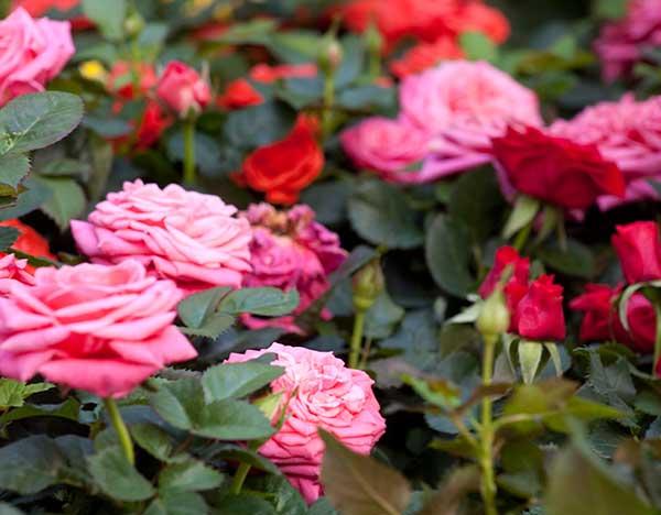 Rosales de nuestro jardín y patio