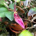 orquidea restrepia condorensis