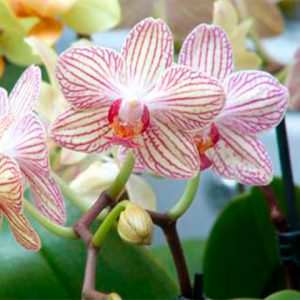 Orquídea Phalaenopsis híbridos nuevos