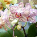 Orquídea Phal. New hybrid
