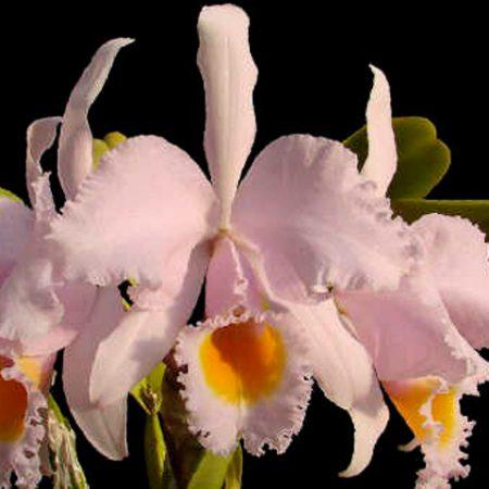 orquidea cattleya schroederae