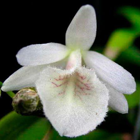 Orquídea Dendrobium Polyanthum