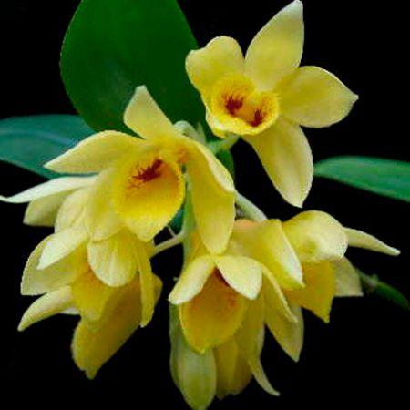 Orquídea Dendrobium Sulcatum