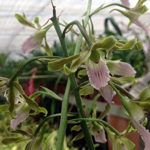 Orquídea Eulophia