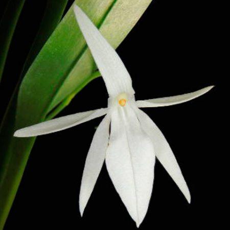 orquidea-jumellea-arachnanthe
