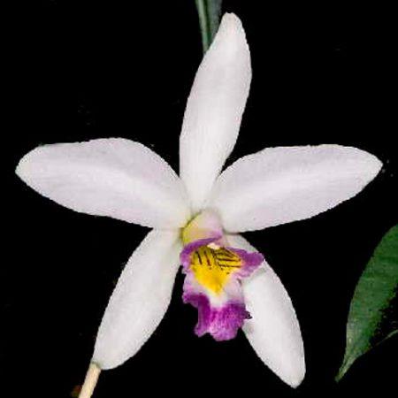 orquidea laelia anceps var veitchiana